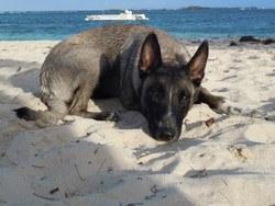 Eska, chien Berger belge