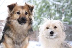 Chouchenne, chien Spitz allemand