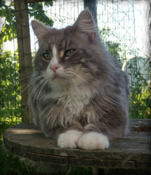 Carayan Thunderpaws, chat Maine Coon