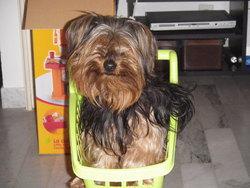 Diesel, chien Yorkshire Terrier