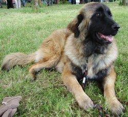 Hénola, chien Chien de montagne portugais