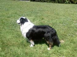 Chuck , chien Berger australien
