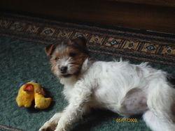 Fripouille, chien Fox-Terrier