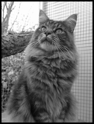 King Kong , chat Maine Coon
