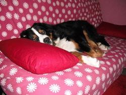 Spy, chien Bouvier bernois
