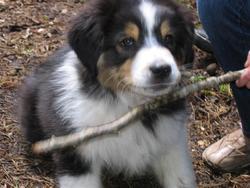 Dooby, chien Berger australien