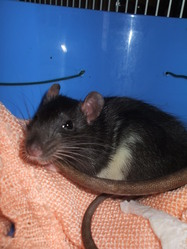 Grenouille, rongeur Rat