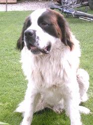 Vulcain , chien Saint-Bernard