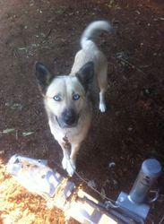 Bhella, chien Husky sibérien