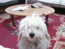 Bianca, chien Bichon bolonais