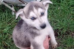 Bianca, chien Husky sibérien