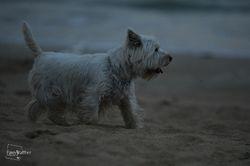 Bianca, chien West Highland White Terrier