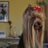 Bianca, chien Yorkshire Terrier