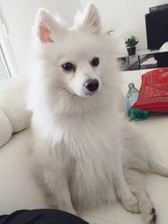 Bianca, chien Spitz japonais