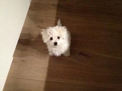 Bianca, chien Bichon à poil frisé