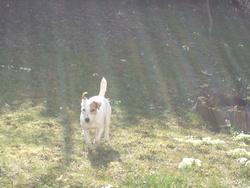 Bianca, chien Jack Russell Terrier