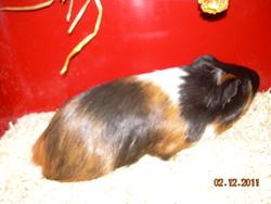 Bianca, rongeur Cochon d'Inde