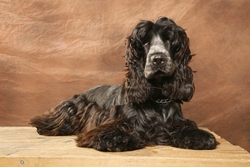 Bianca, chien Cocker anglais