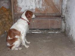 Bianca, chien Épagneul breton