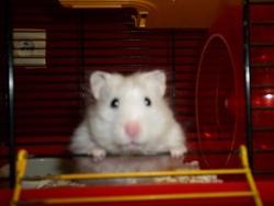 Bianca, rongeur Hamster