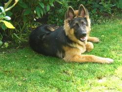 Bianca, chien Berger allemand