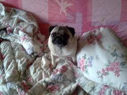 Bianca, chien Carlin