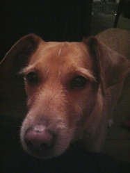 Biancka, chien Basset fauve de Bretagne