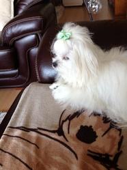 Biancka, chien Bichon maltais