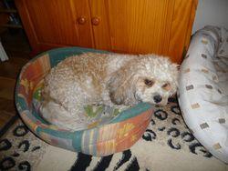 Bianco, chien Bichon à poil frisé