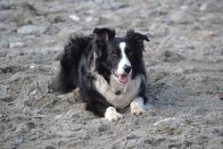 Bianka, chien Border Collie