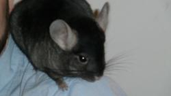 Bib, rongeur Chinchilla
