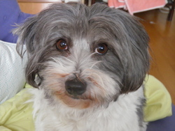 Biba, chien Coton de Tuléar