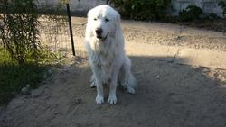 Bibel, chien Mâtin des Pyrénées