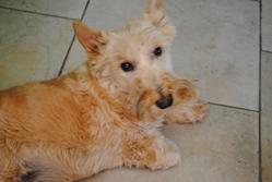 Bibeul, chien Scottish Terrier