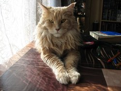 Bibi, chat Maine Coon