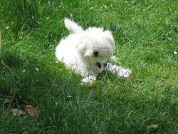Bibi, chien Bichon bolonais