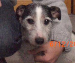 Bibi, chien Jack Russell Terrier