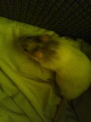 Bibi, rongeur Rat