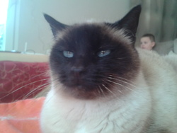 Bibi, chat Siamois