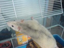 Bibi Alias Papounet, rongeur Rat