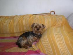 Bibi Feuille, chien Yorkshire Terrier