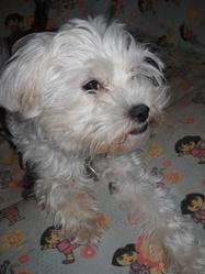 Bibiche, chien Bichon à poil frisé