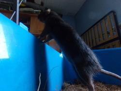 Bibiche, rongeur Rat