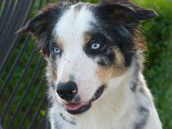 Bibil, chien Border Collie