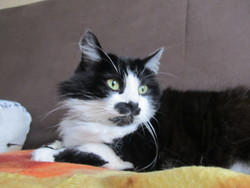 Bibou, chat Angora turc