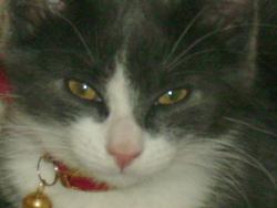 Bibou, chat Européen