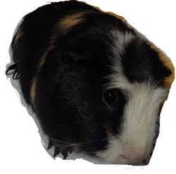 Bibou Au Paradis, rongeur Cochon d'Inde