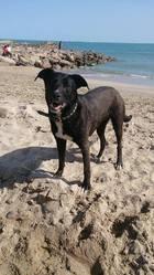 Bibou, chien Dogue argentin