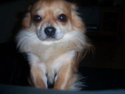 Bibouche à Mon Oncle, chien Chihuahua