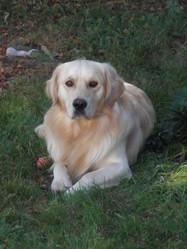 Bibouche, chien Golden Retriever